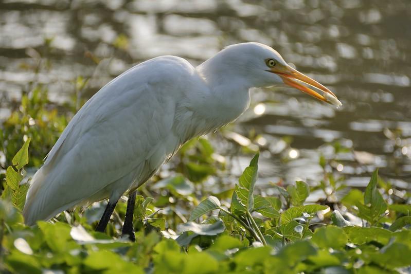 內惟埤的黃頭鷺