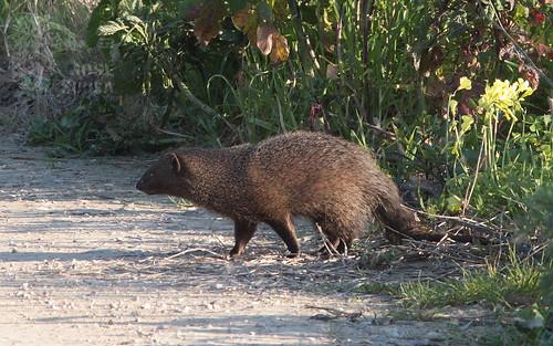 Saca-rabos - Herpestes ichneumon - Egyptian Mongoose