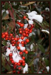 Snowy Nandina