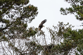 Eagle Spotting - XXXVI