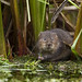 Water Vole by Craig Lindsay 2112