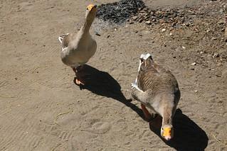 Gangsta Geese.  El Zonte, El Salvador.
