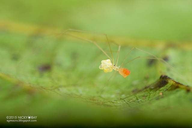 Daddy-long-legs spider (Pholcidae) - DSC_2881
