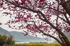 Cherry blossom,Puli,Nantou,Taiwen