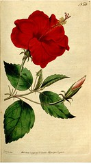 China-rose Hibiscus (1792)