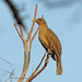 Clay-coloured Thrush, Bahia la Ventosa, Oaxaca, Mexico por Terathopius