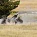 Fairy Creek Bison 2065 by casch52