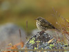 Tree Pipit (Anthus trivialis) by gilgit2
