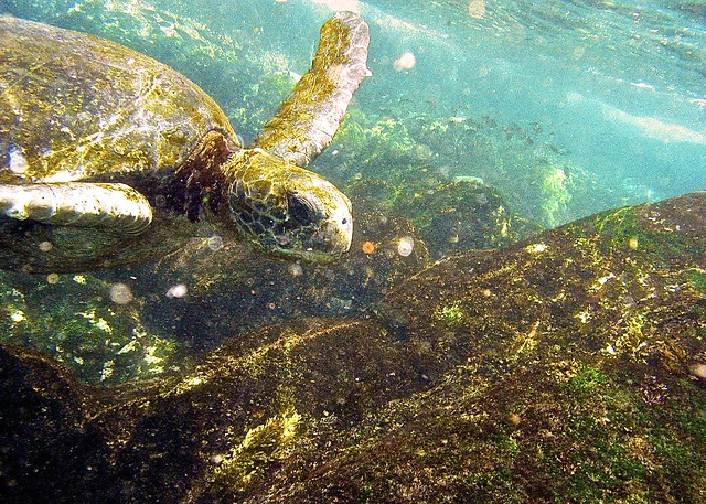 Green Sea Turtle Definition Meaning