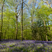 Forest Of Dean Bluebells by Iso Max Photography