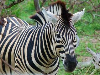 Fotografía de una cebra, uno de los animales que más se ven haciendo un safari por África