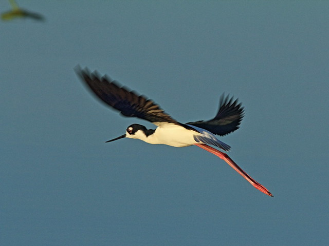 Black-necked Stilt in flight 20150315