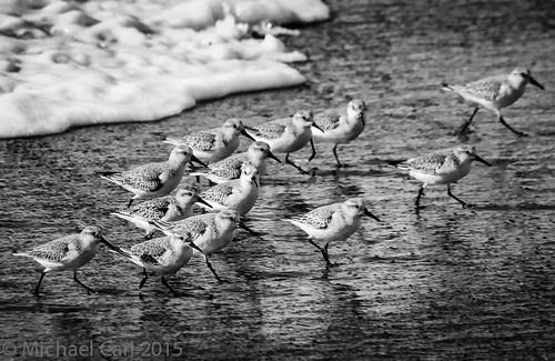 Shorebirds - California Coast
