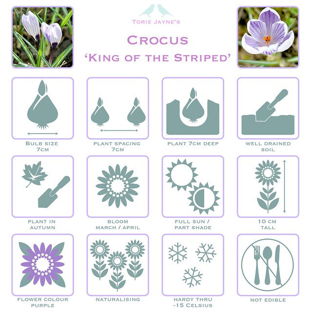 King of the Striped Crocus details