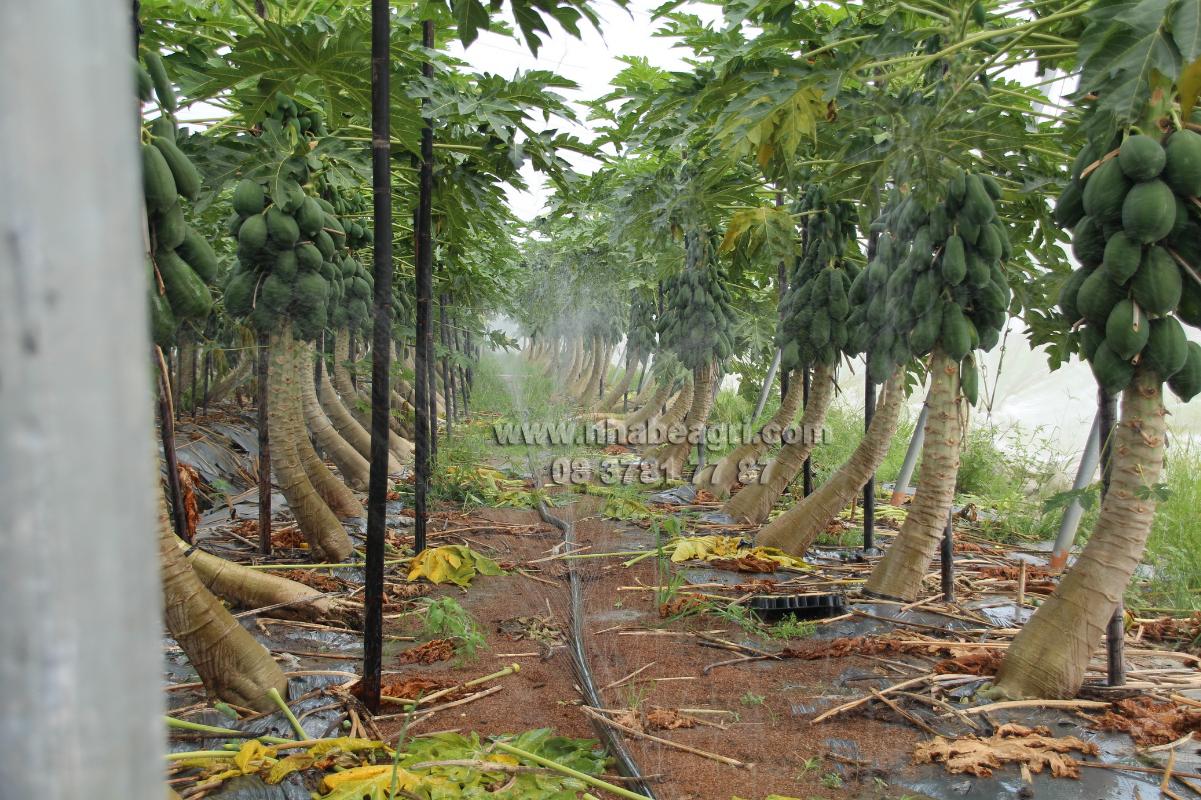 Tưới phun mưa tự động vườn Đu dủ