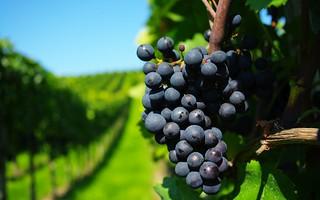uvas varietales