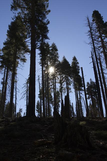 Mariposa Grove - Yosemite