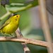 Wilsons Warbler (Cardellina pusilla) by M.D.Parr