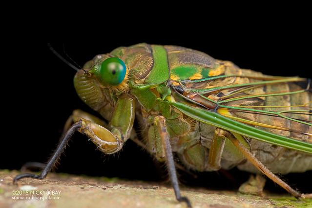 Cicada (Cicadidae) - DSC_3583