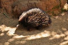 echidna, animal, monotreme, fauna, wildlife,