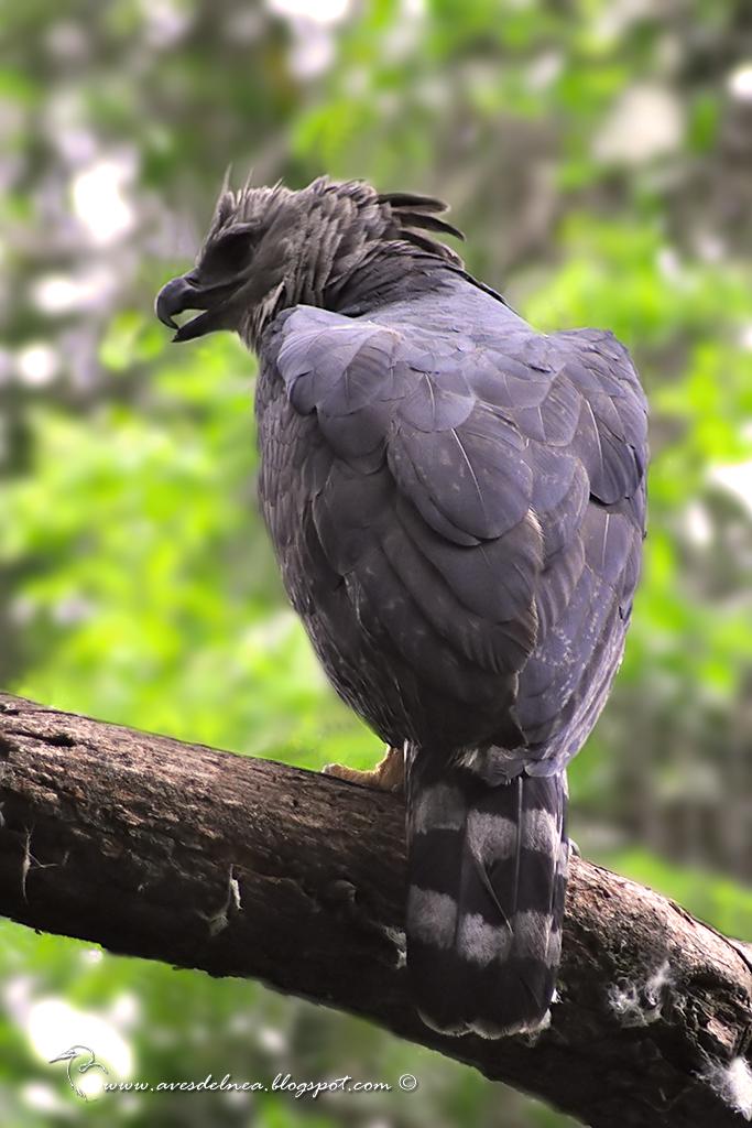 Harpía (Harpy Eagle) Harpia harpyja