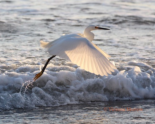 Snowy egret touch and go