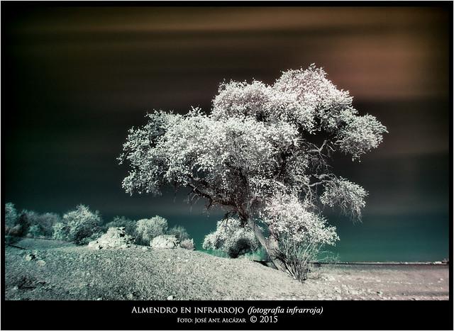 El almendro infrarrojo _IGP9163_1