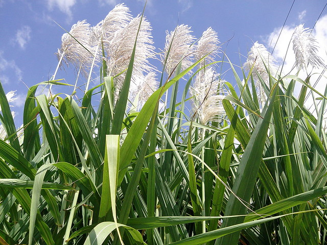 18.30_Quiz_sugar-cane-flowers_by-Thamizhpparithi-Maari-wikimedia-commons_CC