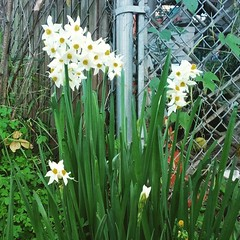torch lily(0.0), wildflower(0.0), plant stem(0.0), flower(1.0), plant(1.0), flora(1.0), narcissus(1.0),