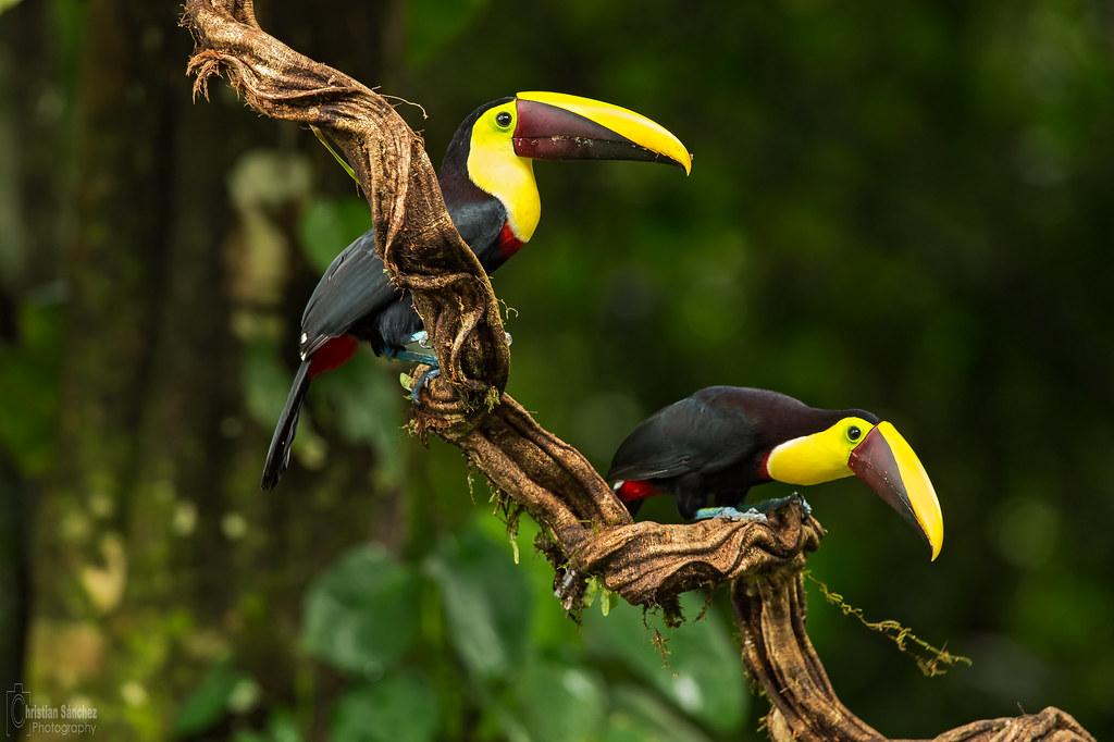 black-mandibled toucan (Ramphastos ambiguus) tucán de pico negro o tucán guarumero