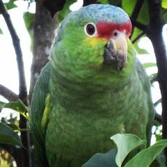 animal, lovebird, parrot, fauna, parakeet, common pet parakeet, beak, bird,