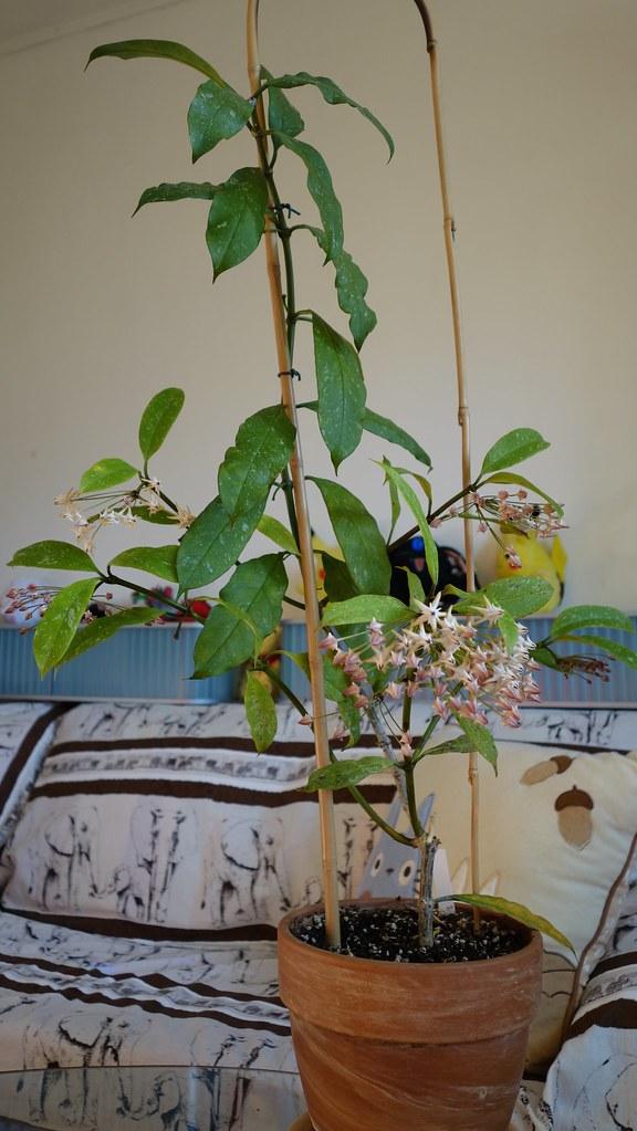 Hoya multiflora 'Milky Way' 15743609573_197d5259ce_b