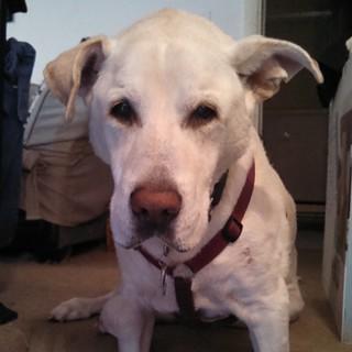 """""""Am I done yet?"""" - Zeus #dogstagram #instadog #megaesophagus #seniordog #ilovemyseniordog #ilovebigmutts #love #bigdog #ilovemydogs"""