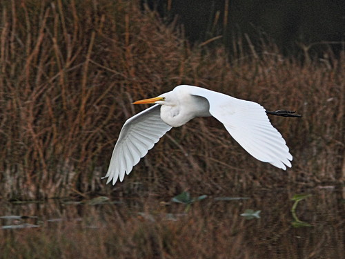 Great Egret in flight 20150201