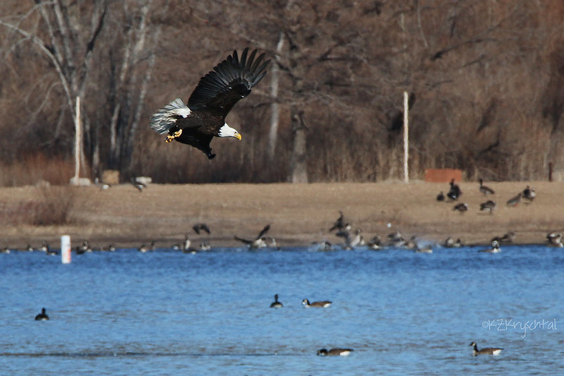 IMG_5988EagleInFlight