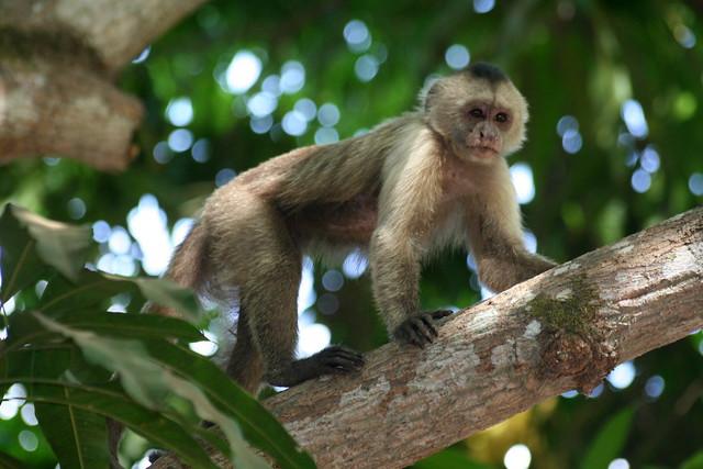 Mono en arbol (Hato Piñero, Venezuela)