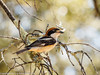 Woodchat Shrike by xrxss15