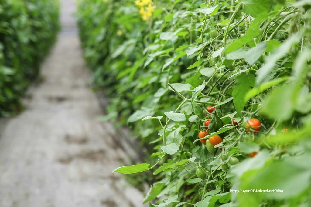 番茄 (14)