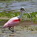 Roseate Spoonbill (Platalea ajaja) by Sharon's Bird Photos
