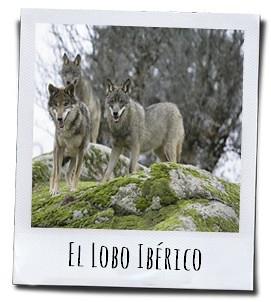 De opkomst van de Iberische wolf in Spanje