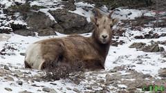 snow, mammal, fauna, mountain goat, wildlife,