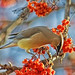 Cedar Waxwing in Paradise by Fort Photo