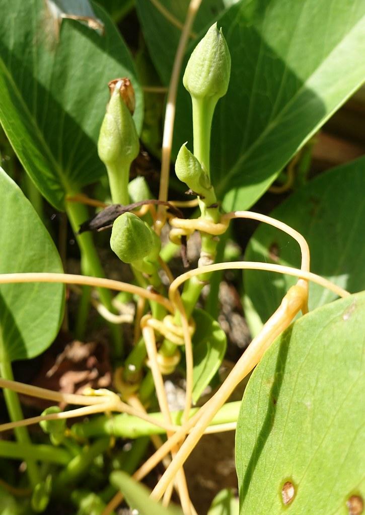 10 Seeds Ipomoea pes-caprae ssp brasiliensis Beach Morning Glory
