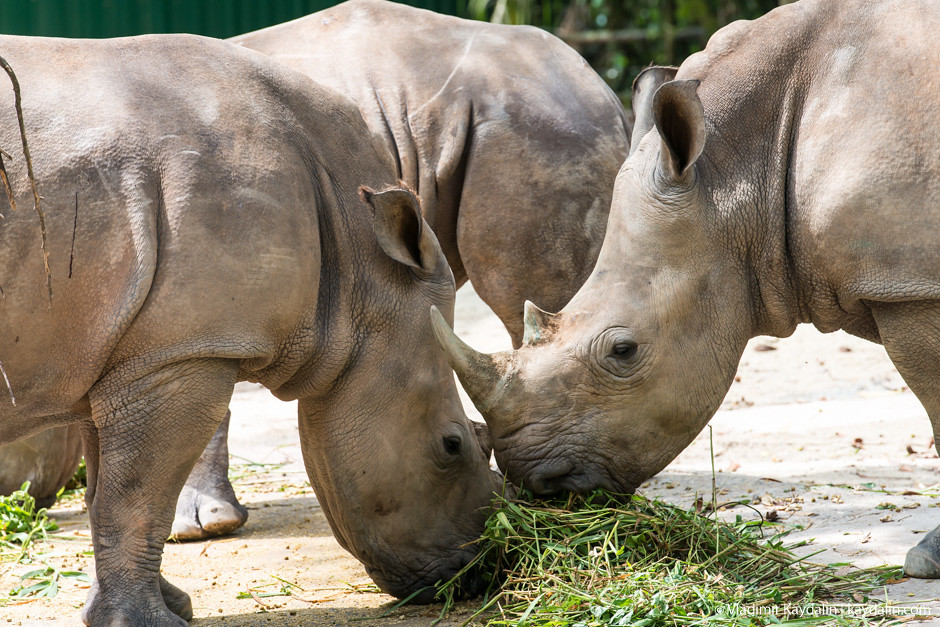 носорог сингапур зоопарк width=