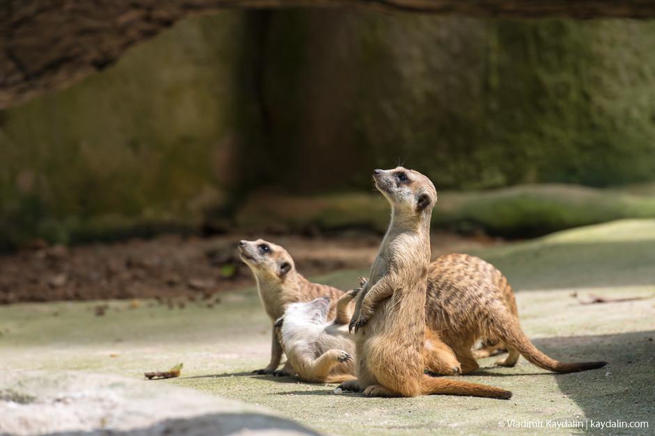 Сурикаты, зоопарк Сингапура