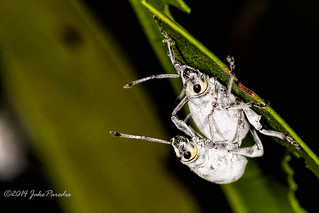Mating Broad-nosed Beetles
