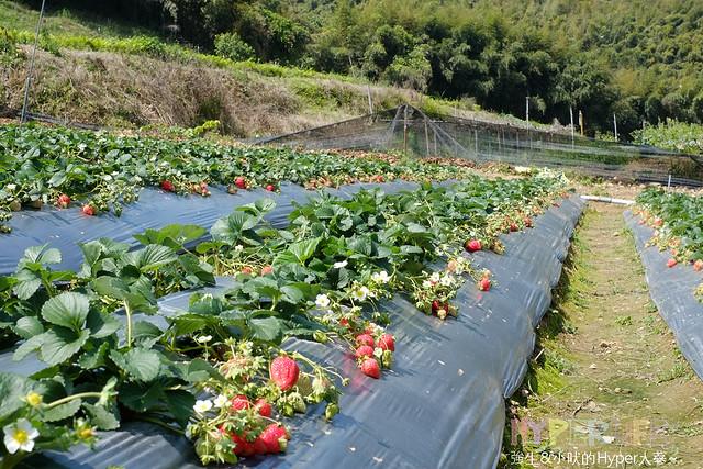 苗栗劉正男高冷草莓園  (5)