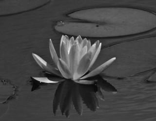 Beautiful Black & White Water Lily