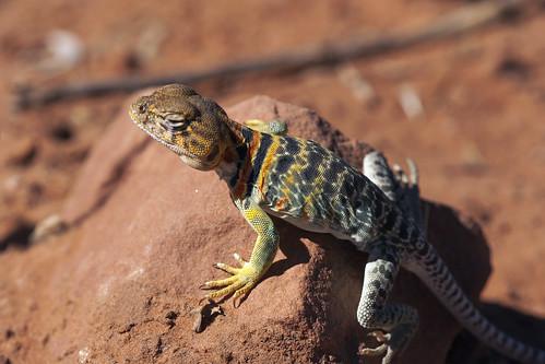 collaredlizard lizard macro earthnaturelife wondersofnature