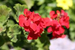 Fleurs municipales